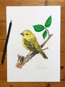"""""""Curious""""   Yellow warbler study"""