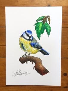 """Coy"" | Blue tit study"